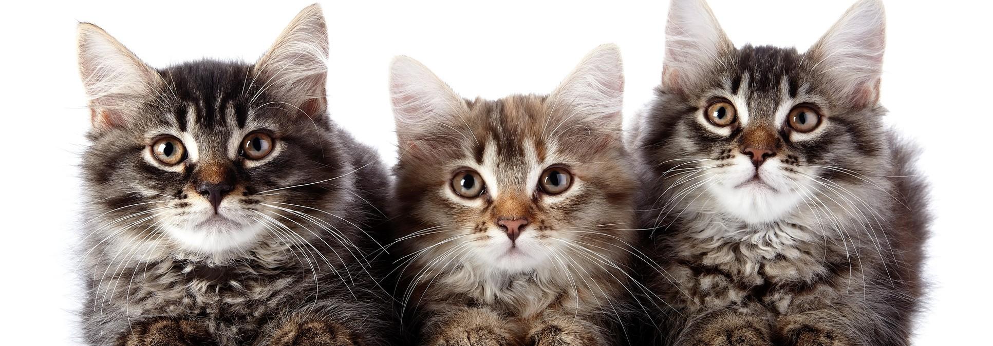 قطط , حيوانات- اعلن مجاناً في منصة وموقع عنكبوت للاعلانات المجانية المبوبة|photos/2018/03/slider1-cats.jpg