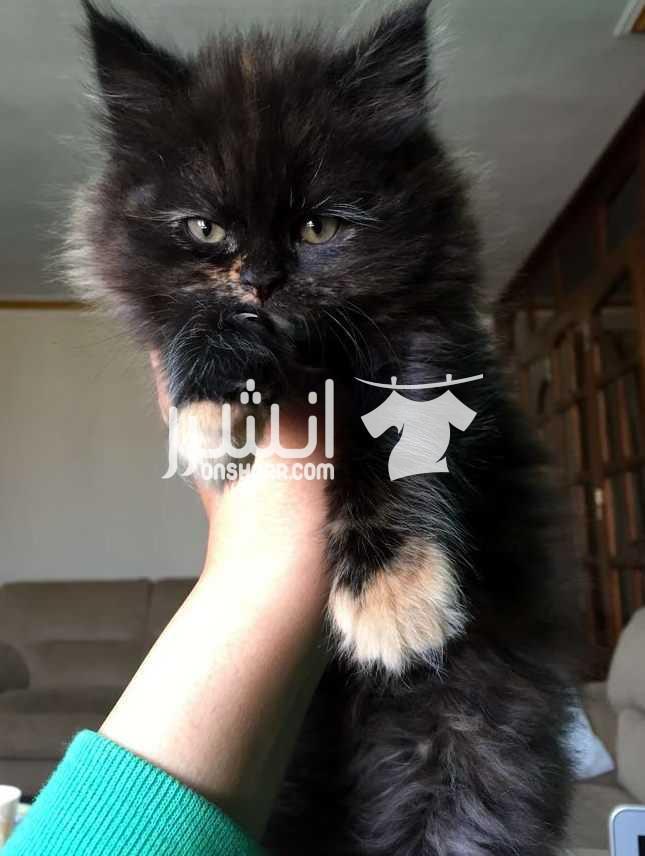 - قطة شيرازي بيور للبيع  <br> <br>عندها شهرين ،   <br>متعودة على...