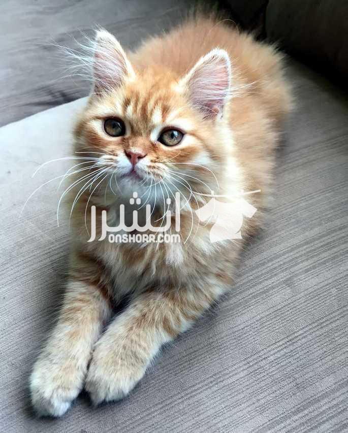 - قطة هاف بيكي  <br> <br>عمرها شهرين ونص  <br>نظيفة جداا وشعر كثيف...