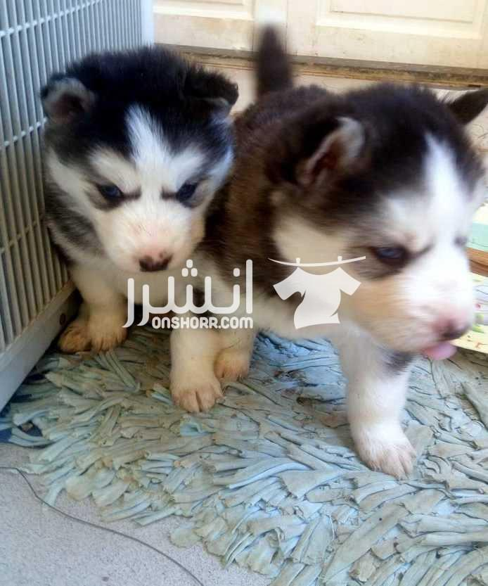 - كلاب للبيع <br> <br>جراوي هاسكي