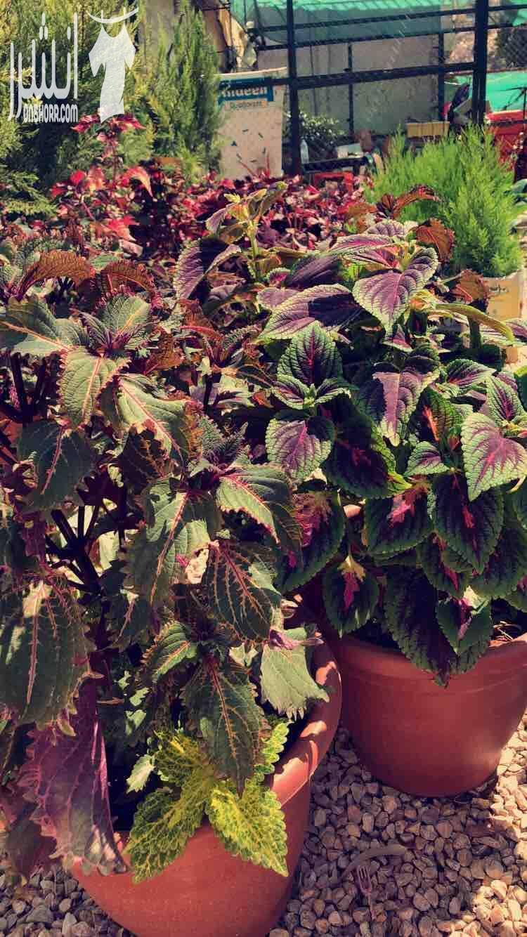 لتزيين اماكنكم بأجمل و ارقى نباتات الزينة باجمل الالوان لتضفي على...
