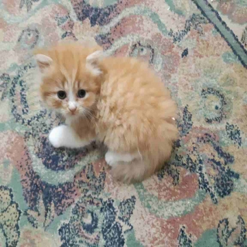 -                          قطه شيرازي للبيع...