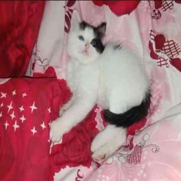 -                          قطة شيراز مون فيس...