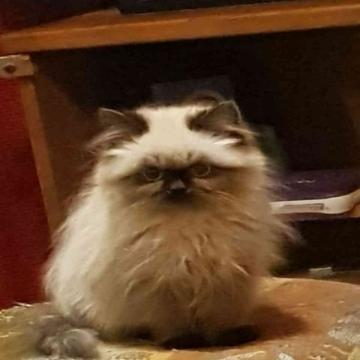 -                          قطط هيمالايا مون فيس...