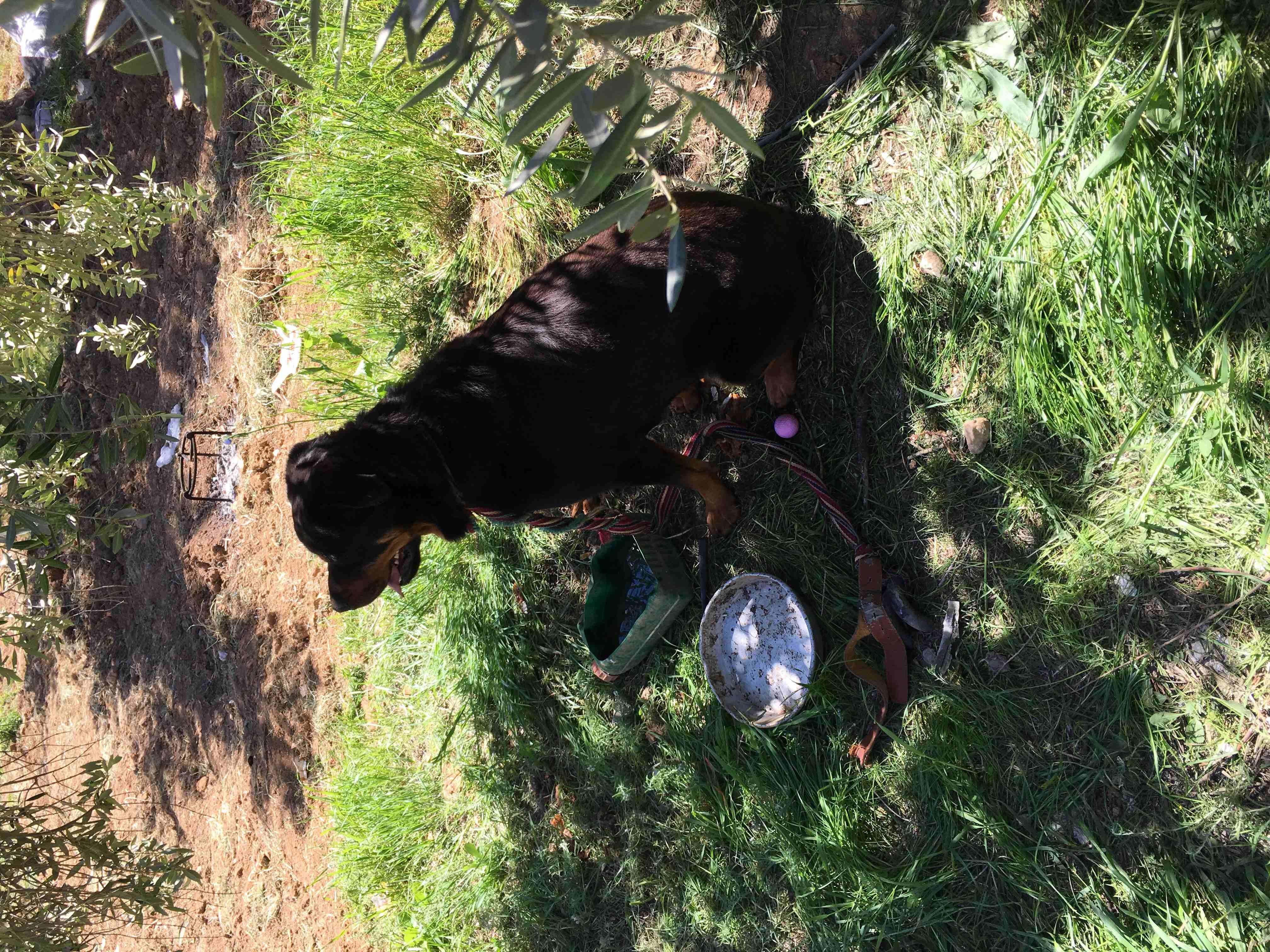 labrador retriever black and brown jack-  روت وايلر بيور لا تنسَ...