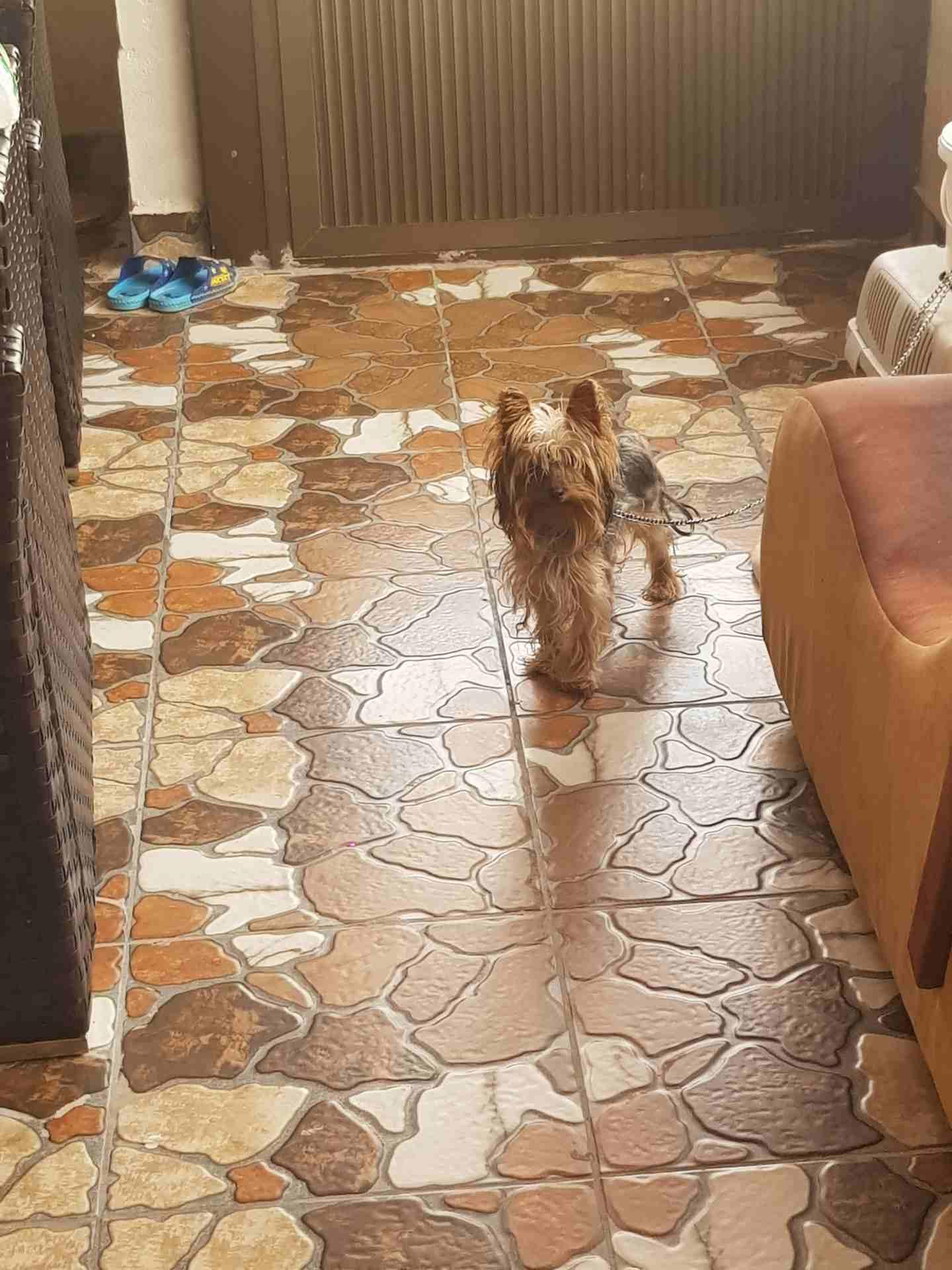 3 month Siberian huskey - Female-  كلب يورك شير زينه اوكراني...