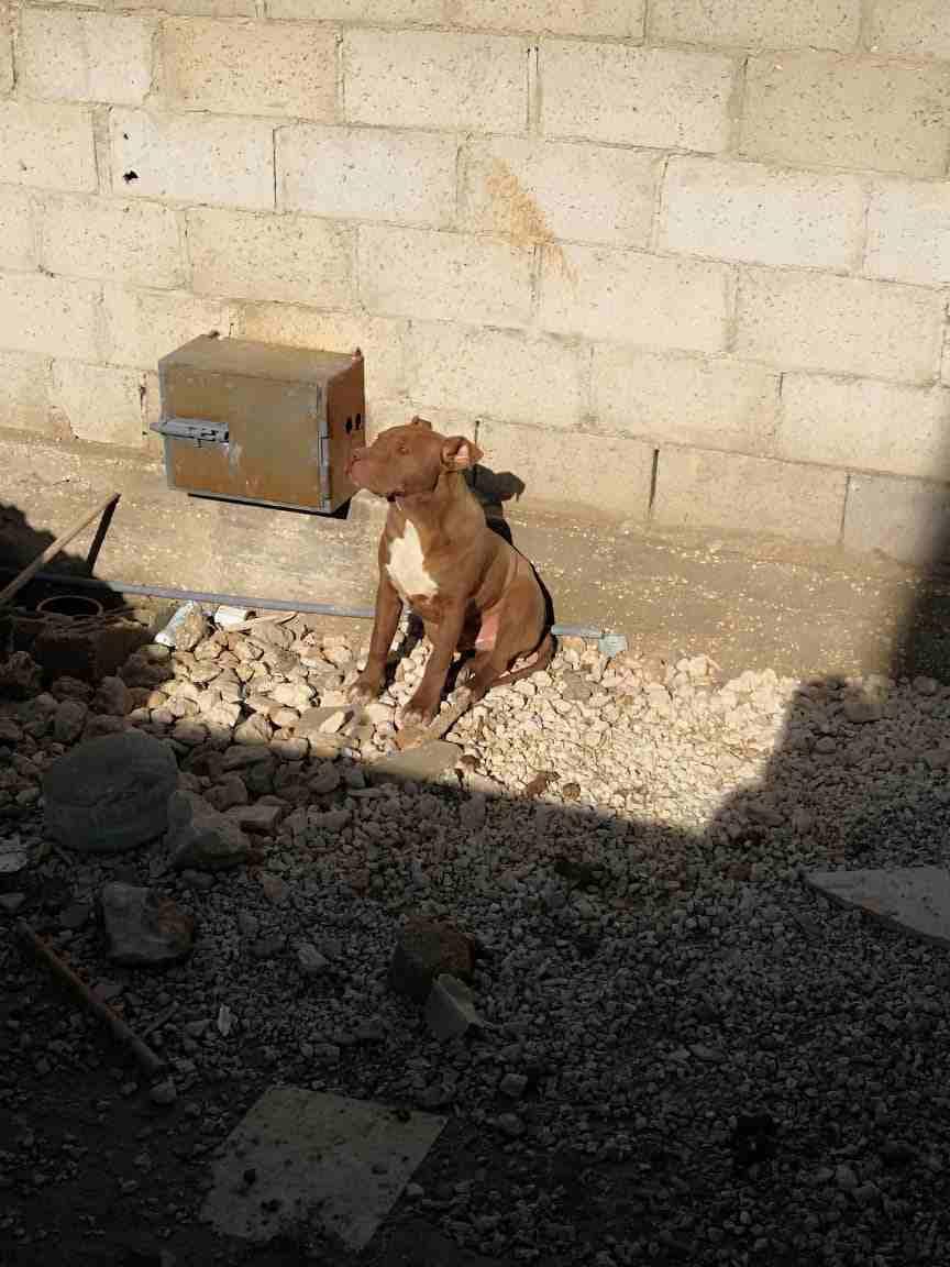 3 Cavalier King Charles puppies for Sale-  كلاب بيتبول لا تنسَ أنك...