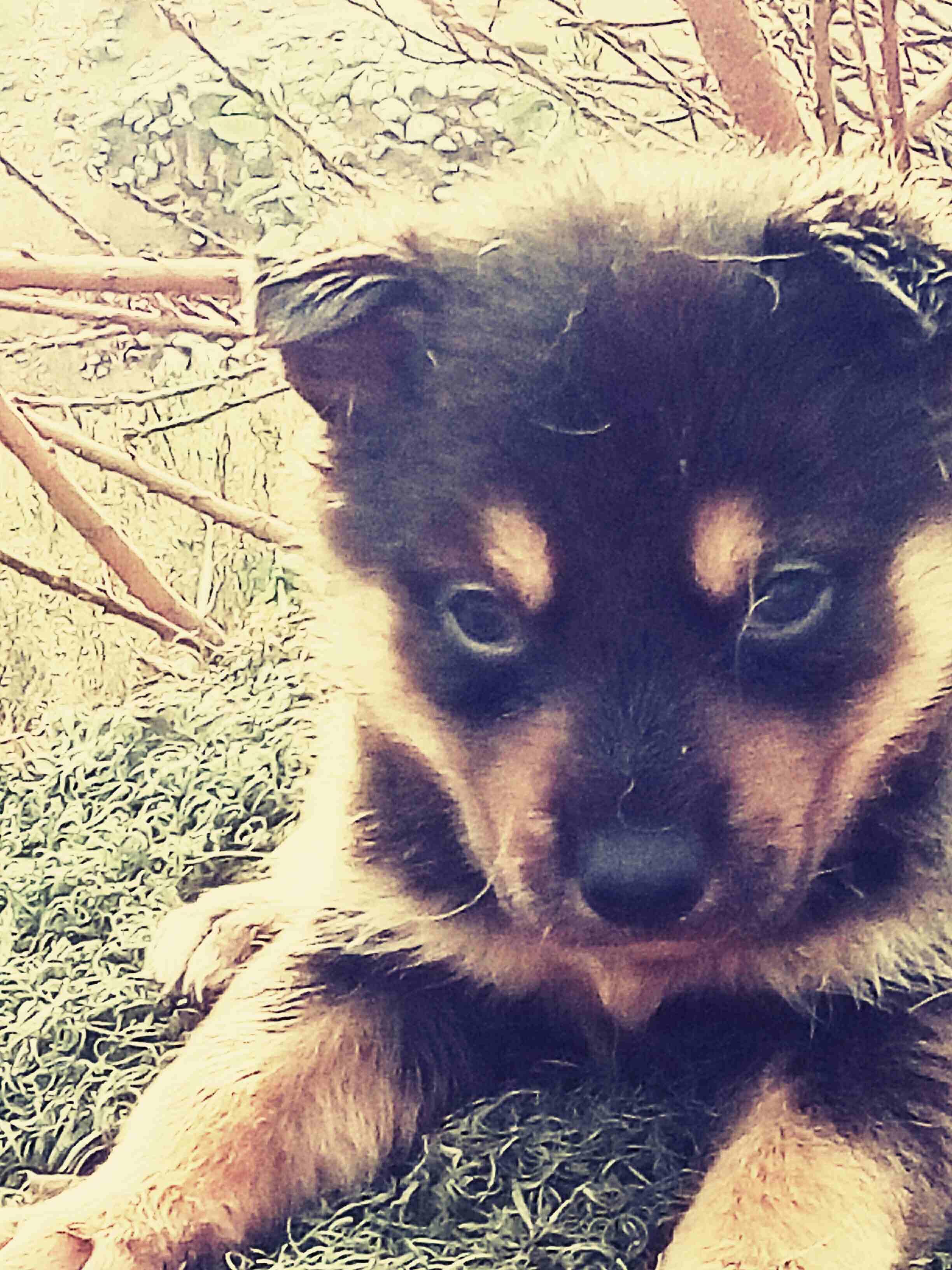 3 Cavalier King Charles puppies for Sale-  جرو ذكر جيرمن لونق هير...
