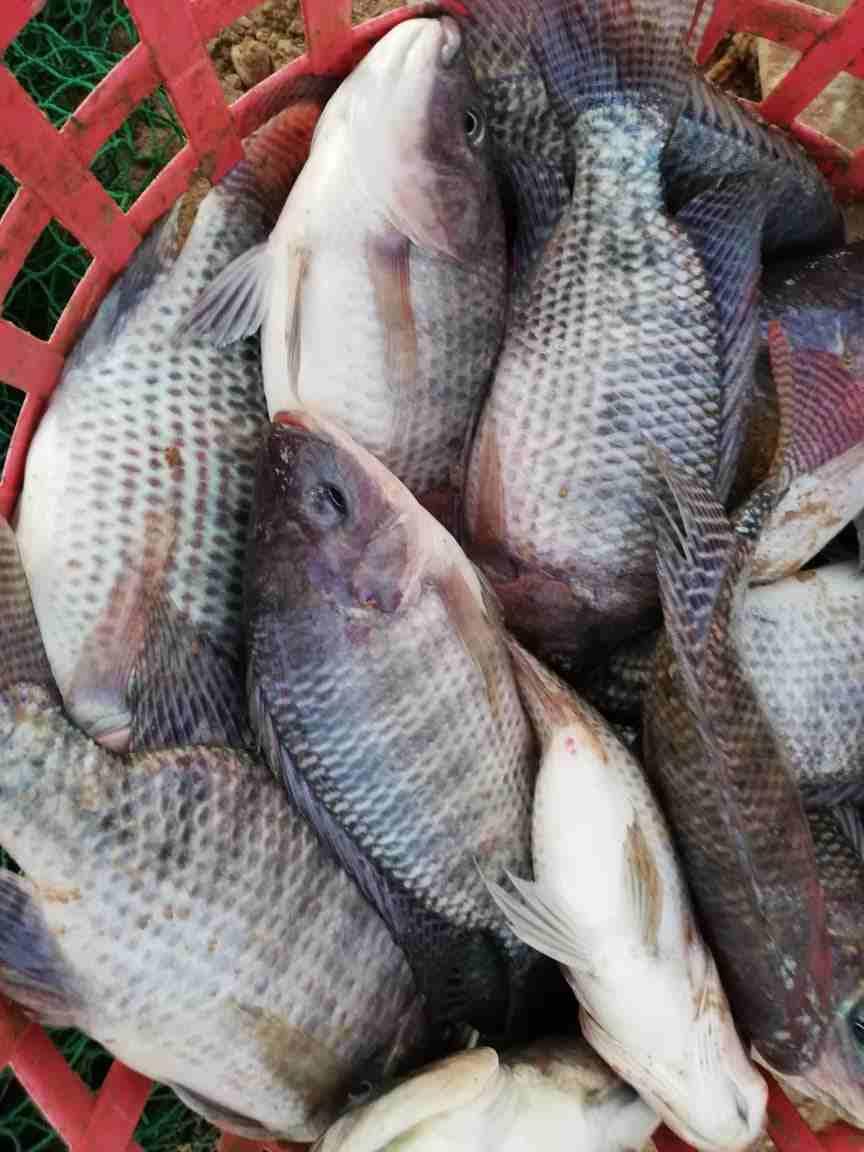 سمك حي يباع مباشرا داخل المزرعة مع وجود...