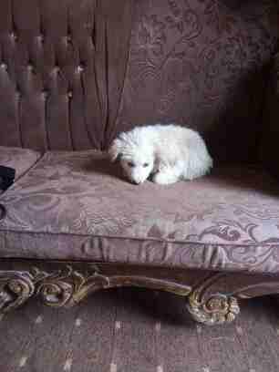 3 Cavalier King Charles puppies for Sale-  كلب فرنسي انثا لا تنسَ...