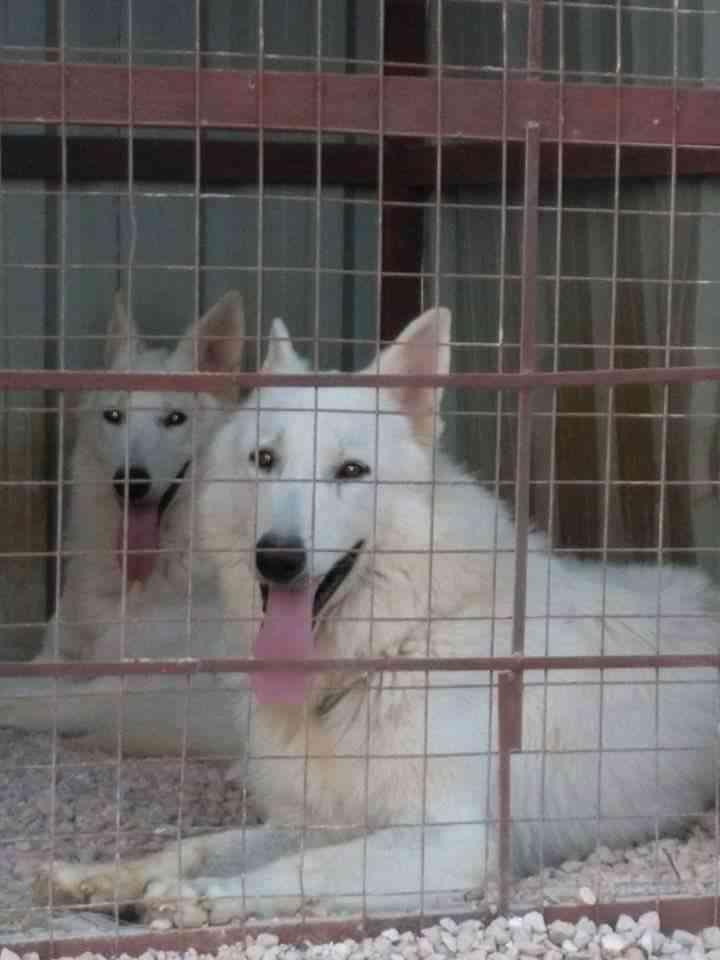 3 Cavalier King Charles puppies for Sale-  جوز جيرمين وايت نوع نادر...