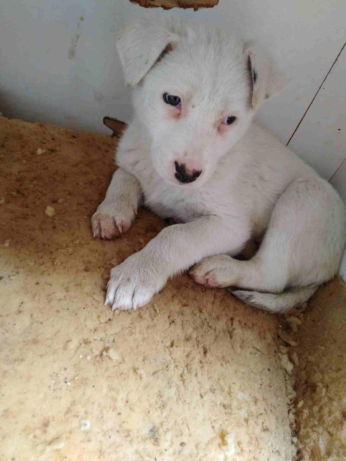 3 month Siberian huskey - Female-  الي أهل الخبره لو سمحتو...