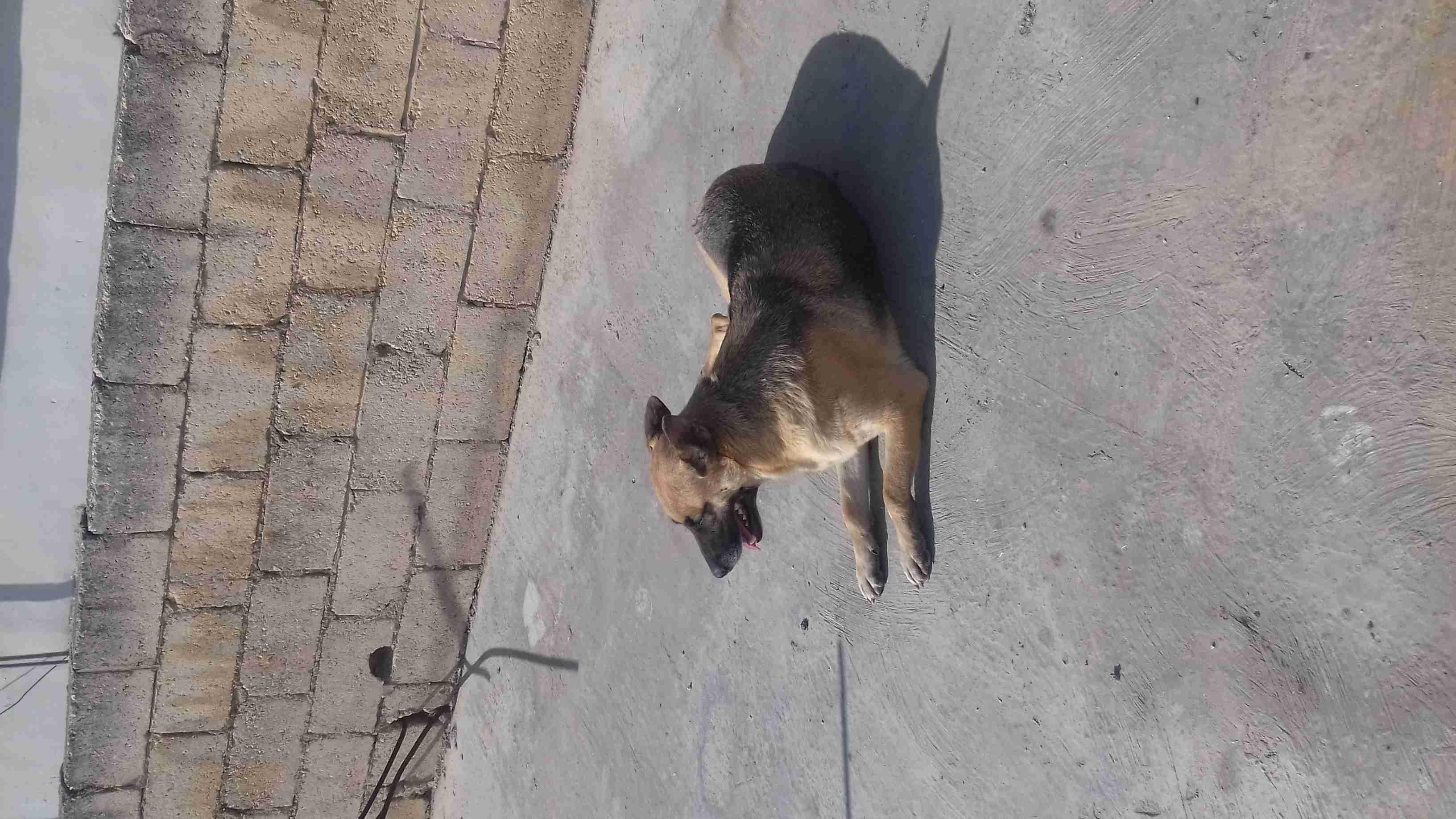 labrador retriever black and brown jack-  ذكر هاسكي نخب وأنثى ولف...
