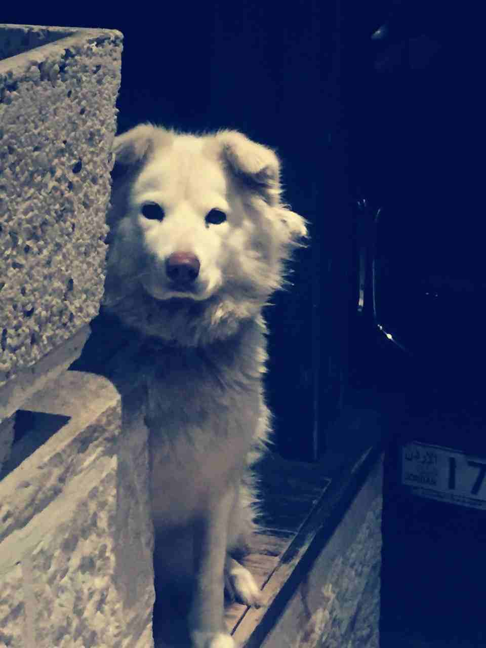 rottweiler for sale male full friendly-  جيرمن شيبرد أبيض كندي لا...