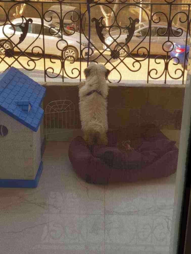 كلب جريفون عمره 3 شهور...