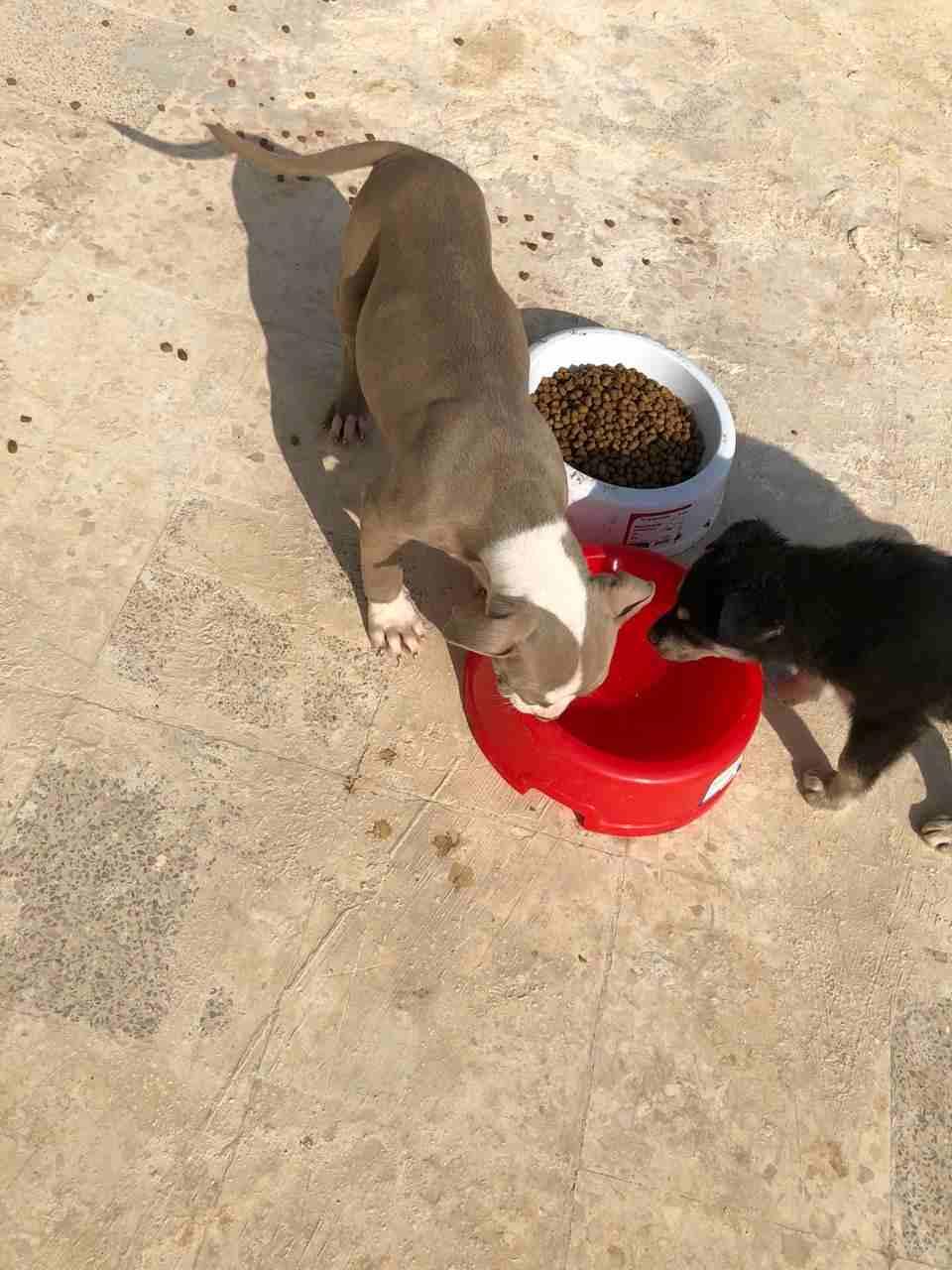 3 Cavalier King Charles puppies for Sale-  بيتبول ورت مميز لا تنسَ...