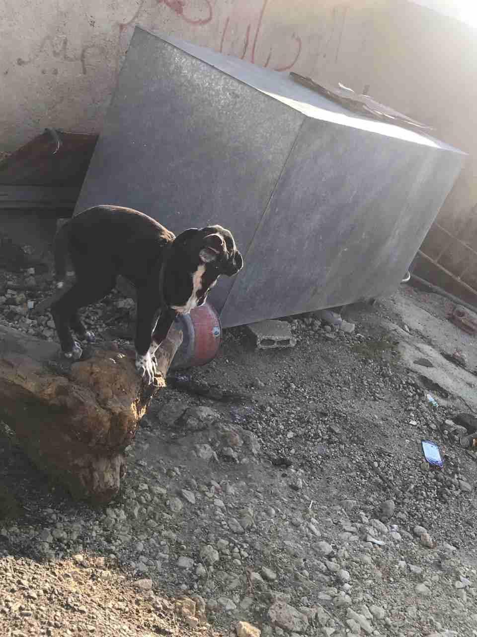 labrador retriever black and brown jack-  كلب للبيع مع ابنها لا...