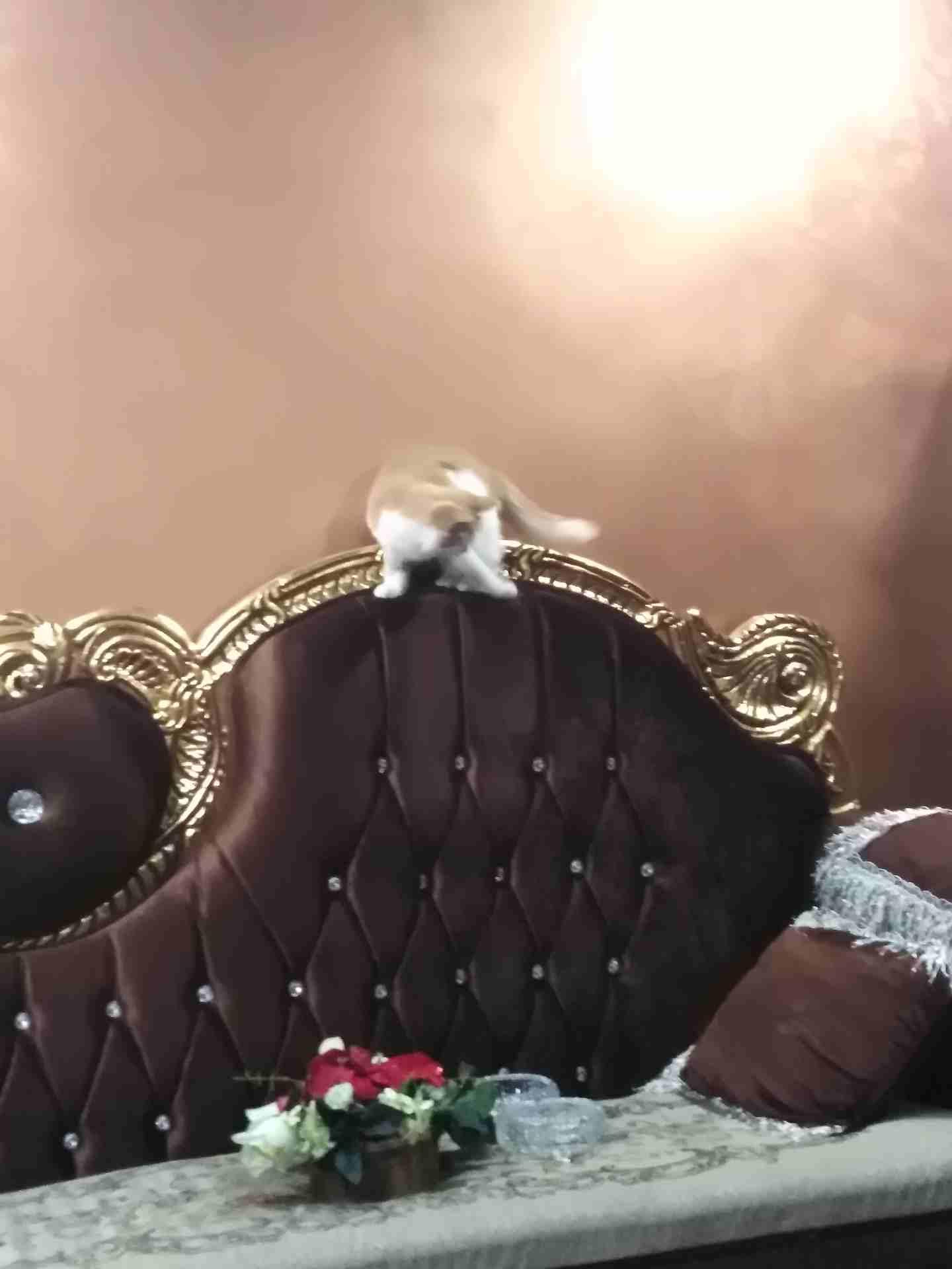 قط شيرازي-  قطه للبيع لا تنسَ أنك...