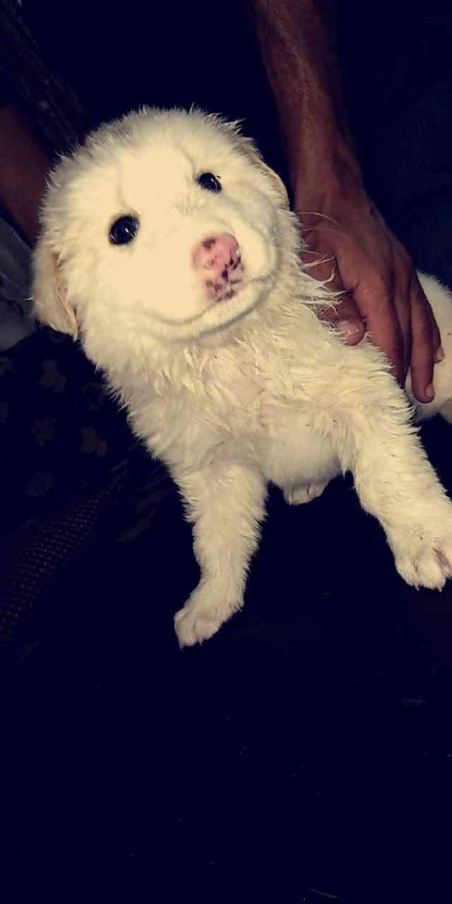 rottweiler for sale male full friendly-  كلب للبيع مابعرف ايش نوعو...