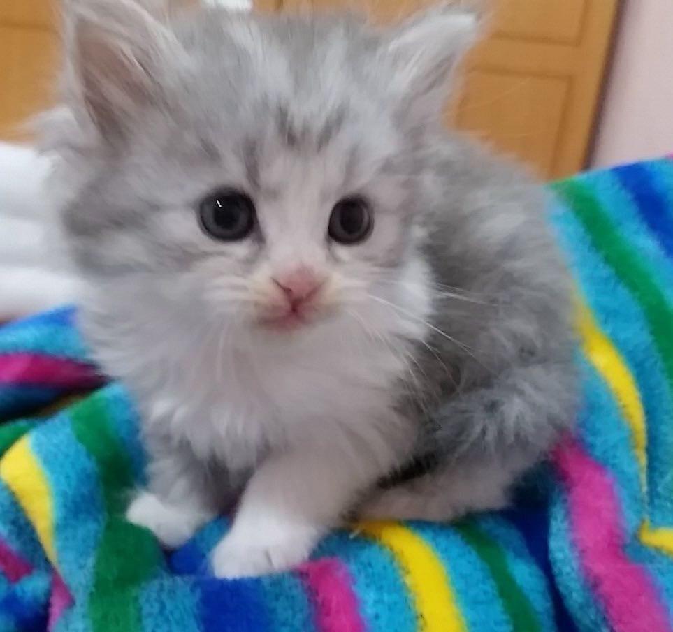 Himalayan kittens...