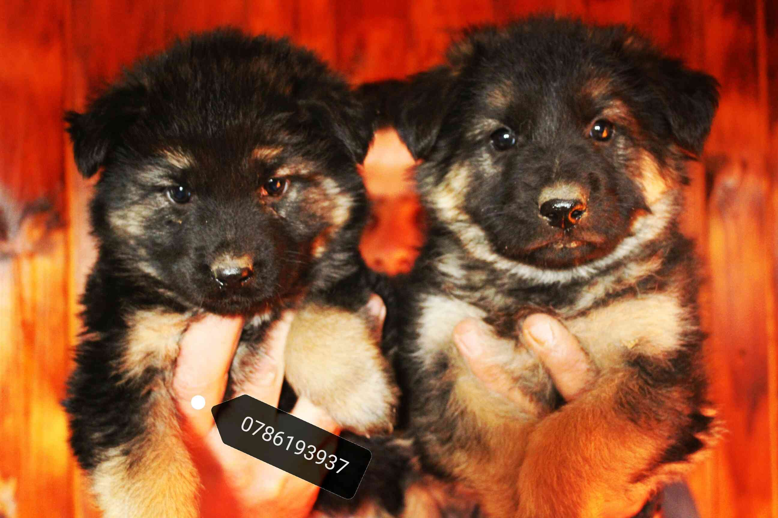 3 month Siberian huskey - Female-  لأصحاب الذوق الرفيع...