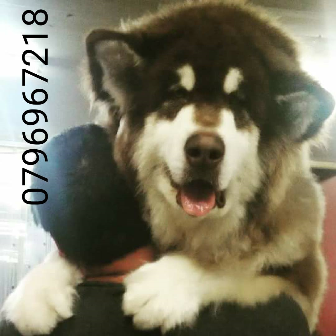 labrador retriever black and brown jack-  Gaint Alaskan Malamute لا...