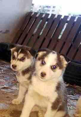 3 month Siberian huskey - Female-  هاسكي بيور لا تنسَ أنك...