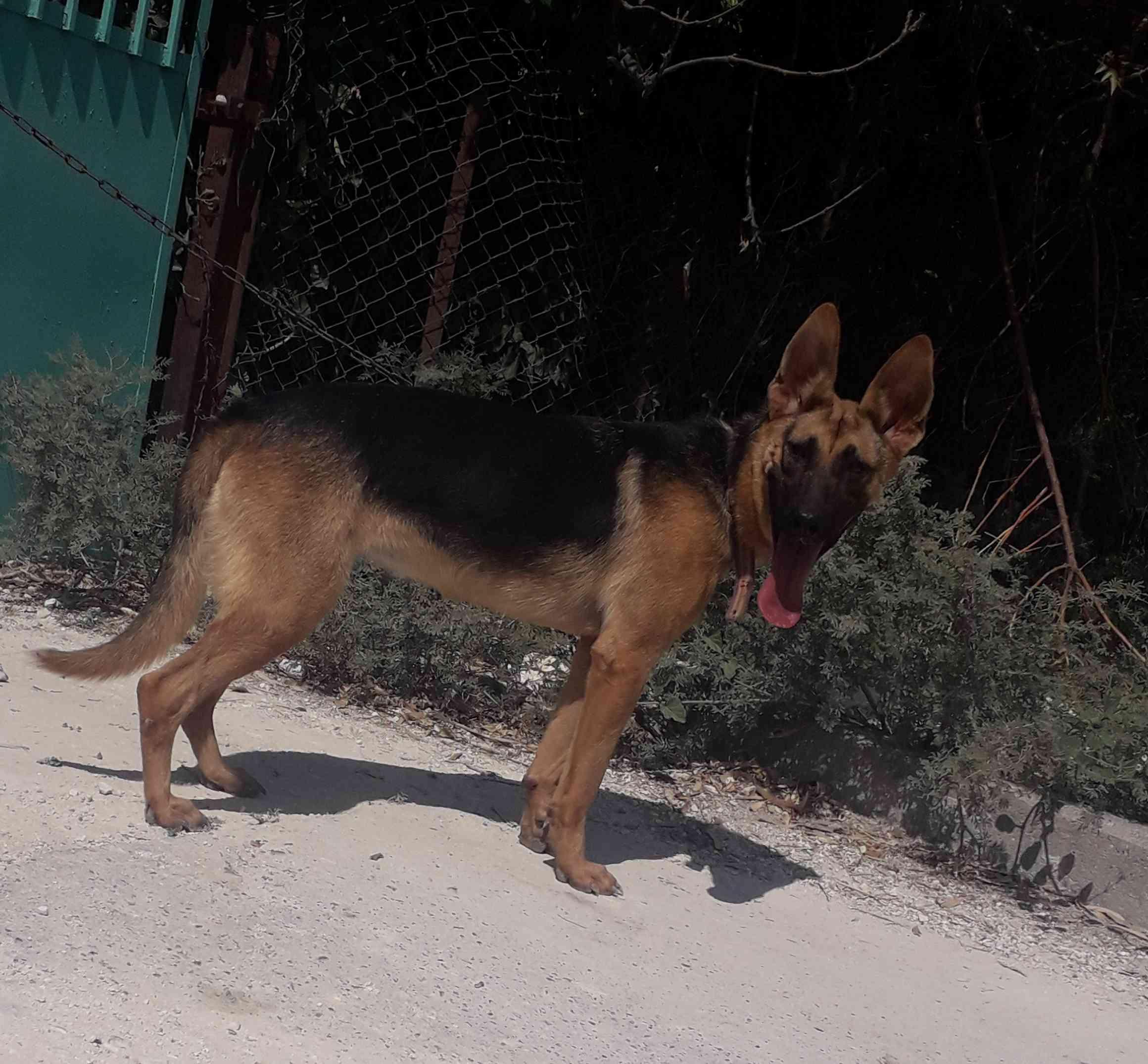 3 month Siberian huskey - Female-  جيرمن شبرد لا تنسَ أنك...