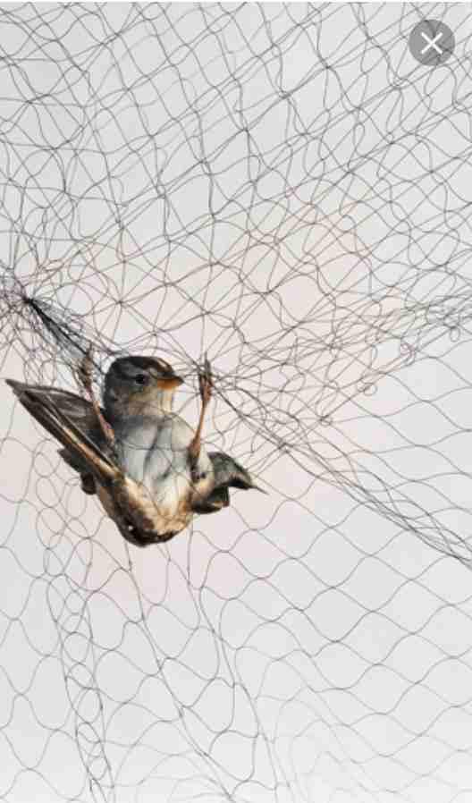 قبو غاضب مستقبل شبك صيد العصافير 14thbrooklyn Org