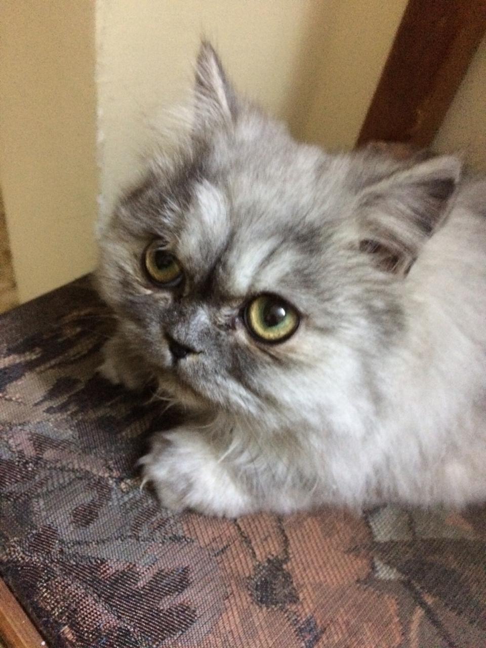 قط شيرازي-  قطة للبيع لا تنسَ أنك...