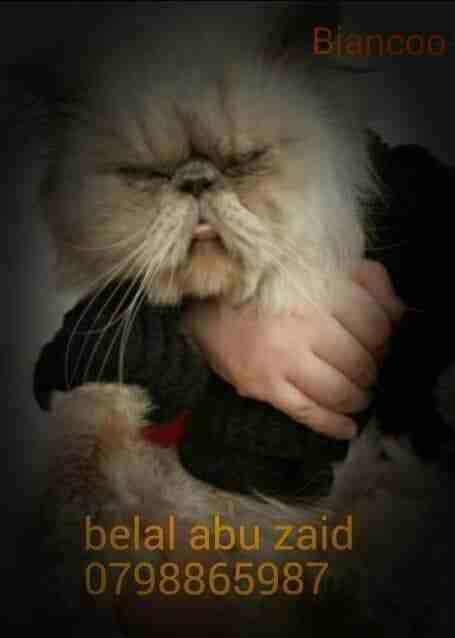قط شيرازي-  ذكر للتزاوج لا تنسَ أنك...