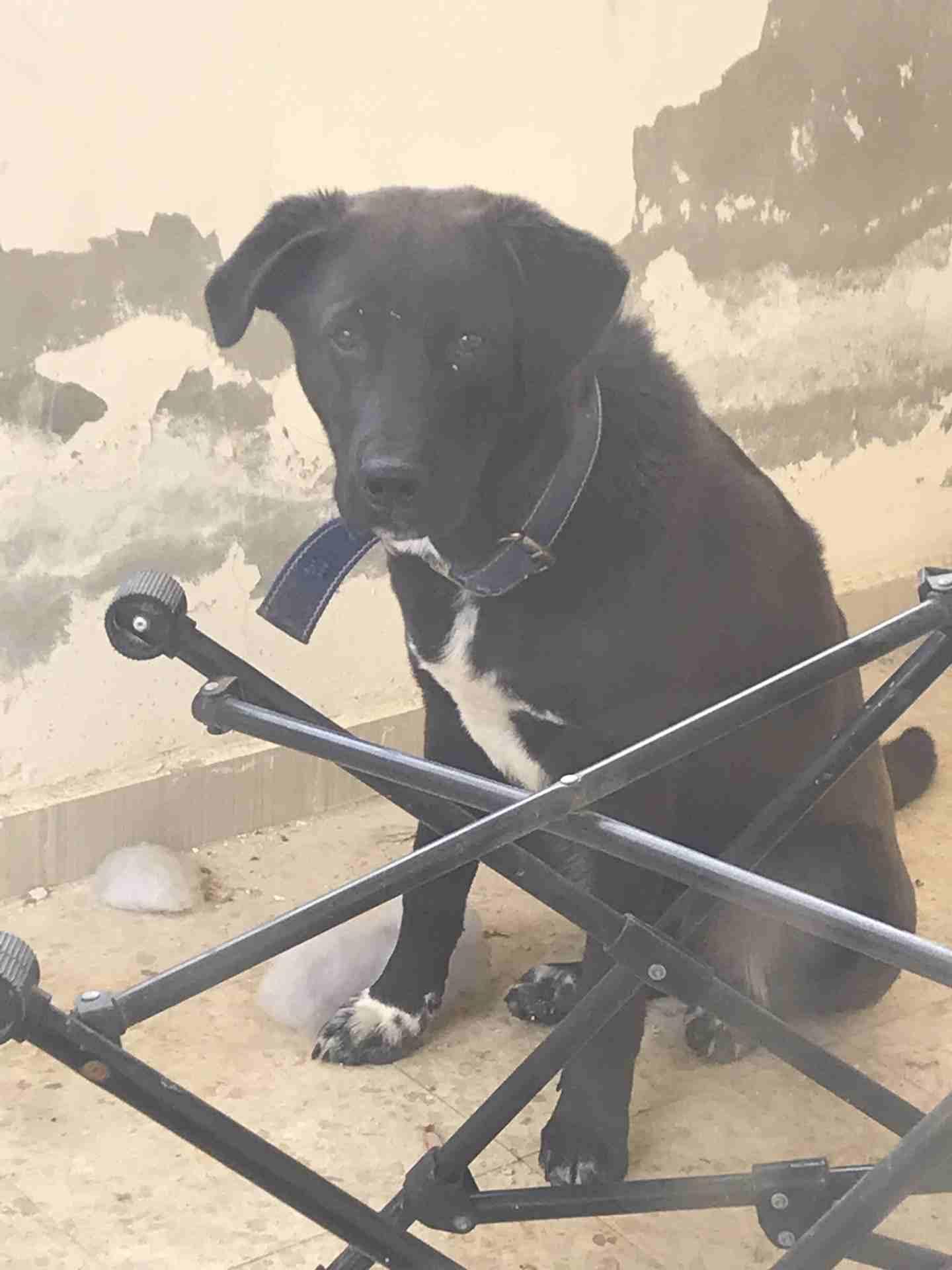 labrador retriever black and brown jack-  لابردور للبيع او للبدل...