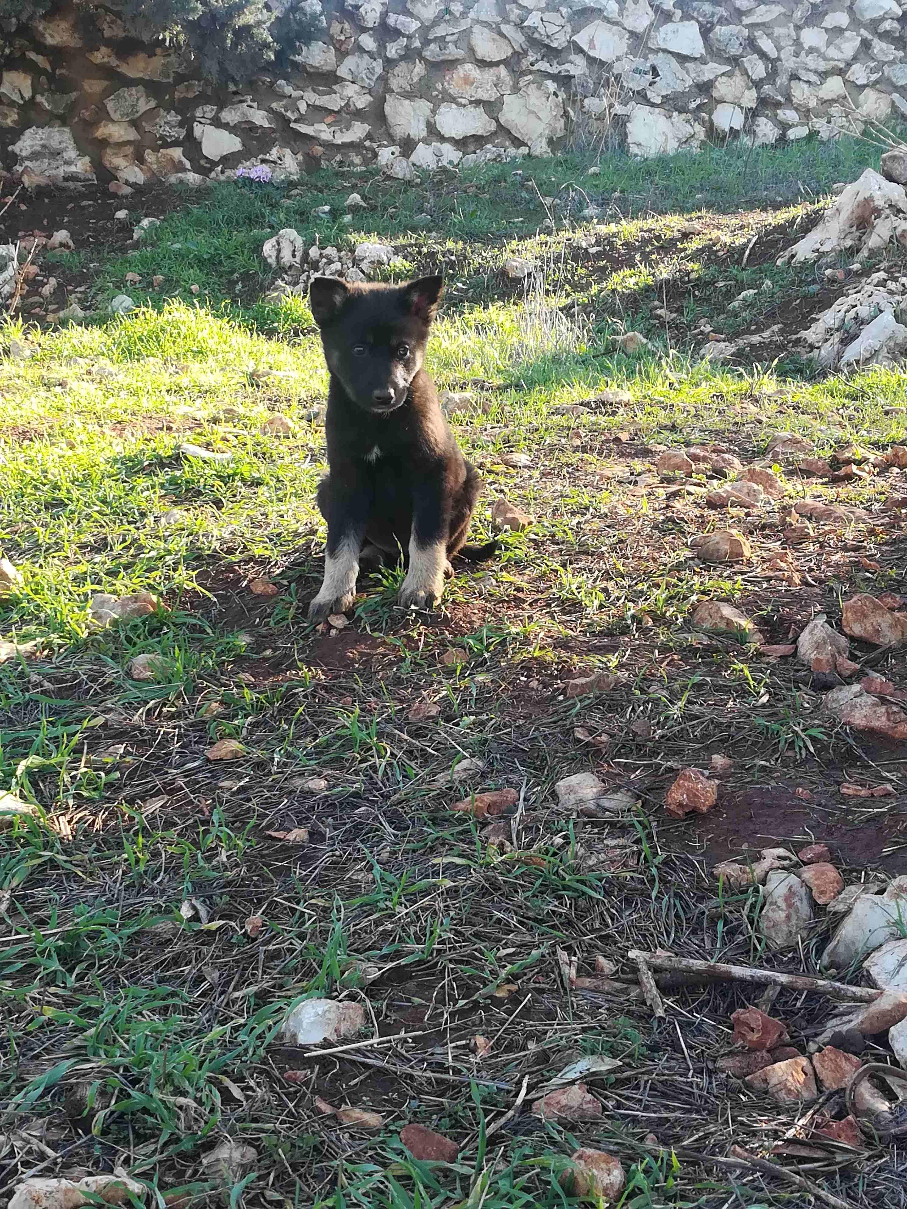 3 Cavalier King Charles puppies for Sale-  ذكر جيرمن لا تنسَ أنك...