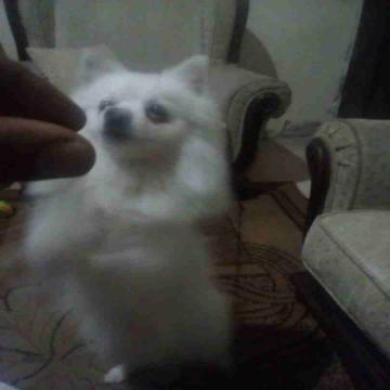 -                          كلب برومنيان...