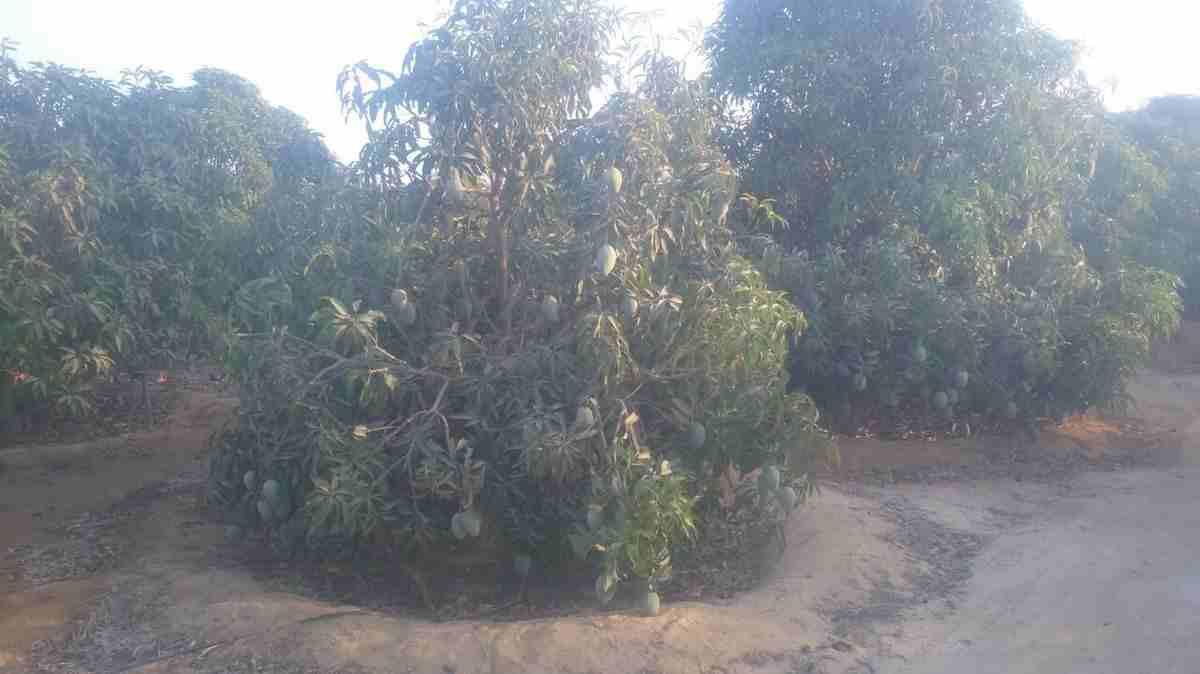 للبيع مزرعة مانجو مثمرة جدا تقع على مساحة 10 فدان اى 42 الف متر...