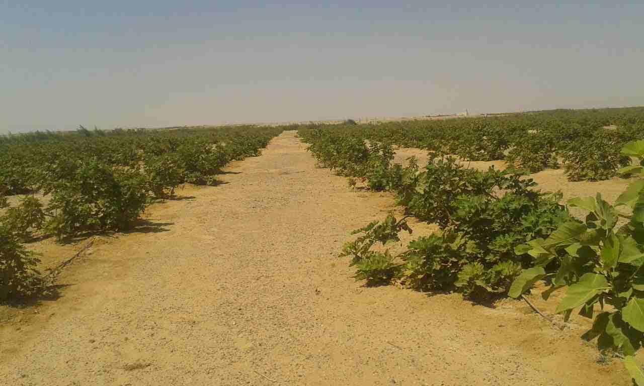 استثمر في 5 فدان مستصلحة جاهزة للزراعه بمحافظة المنيا يتوافر به...