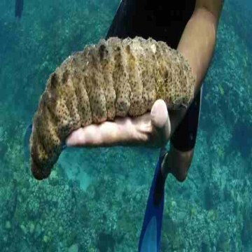 -   SEA CUCUMBER HIGH GRADE/DRIED SEA CUCUMBER Dear Sir/Madam,  We...