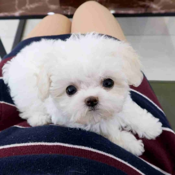 ancaboot - ads - البحث- - Beautiful Teacup Maltese Puppies Available  WhatsApp me at...