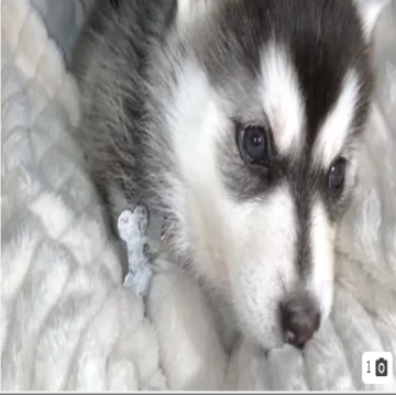 3 month Siberian huskey - Female- - Vaccinated - microchipped - ready to go home