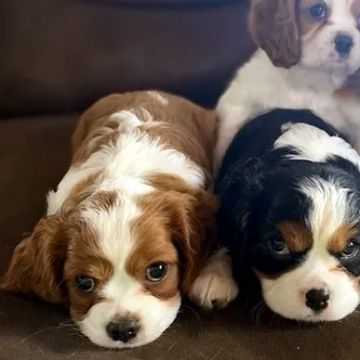 3 Cavalier King Charles puppies for Sale- - 100% pure breed puppies Cavalier King Charles puppies Amazing...