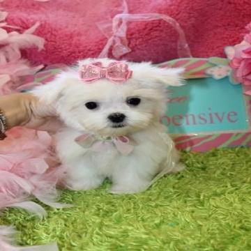 اعلن مجاناً في منصة وموقع عنكبوت للإعلانات المجانية المبوبة- - Beautiful Teacup Maltese Puppies Available They were born and...