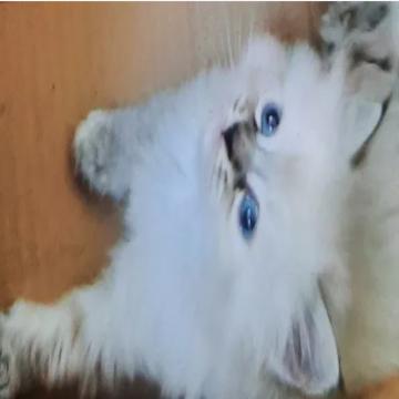 حيوانات , - اعلن مجاناً في منصة وموقع عنكبوت للاعلانات المجانية المبوبة- - siberian kitten siberian kitten,neva masquerade kitten