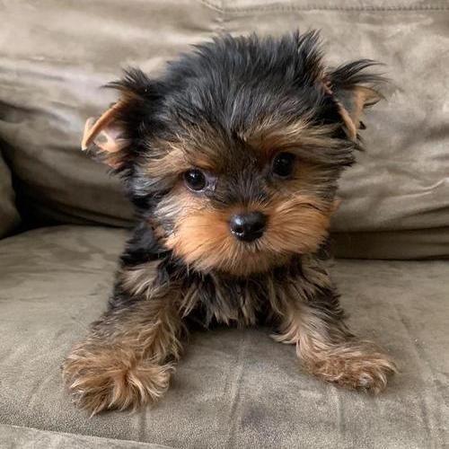 labrador retriever black and brown jack-  Quality Tiny Yorkie...