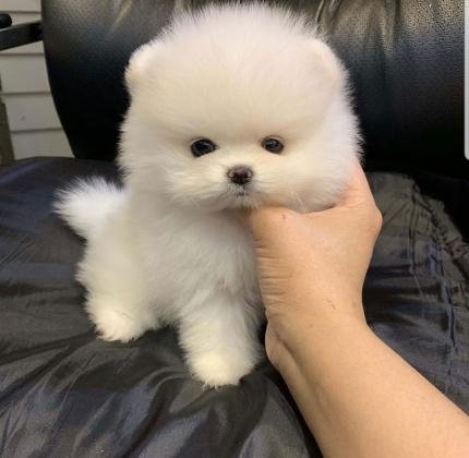 3 Cavalier King Charles puppies for Sale-  Awesome Teacup pomeranian...