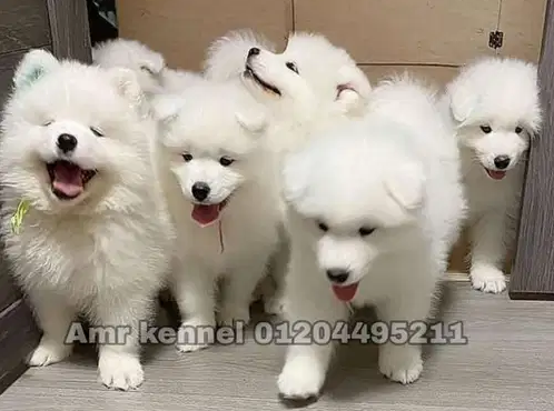 labrador retriever black and brown jack-  Samoyed puppies Ready for...