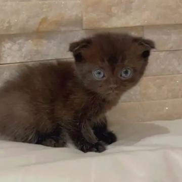 قطط , حيوانات- اعلن مجاناً في منصة وموقع عنكبوت للاعلانات المجانية المبوبة- - انثى سكوتش  الاستلام بعد اسبوع